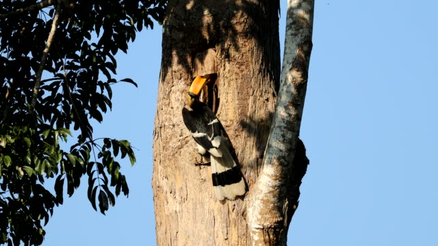 Father Great hornbill a feeding food a Mother Great hornbill  in the nest