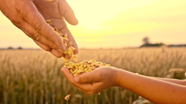 SLO MO vader gieten graan maïs in kind hand