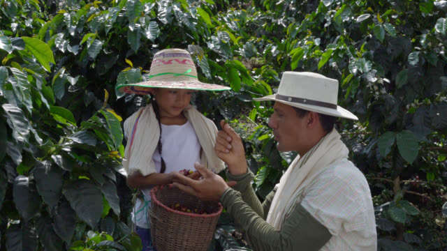 father teaching daughter what coffee beans are good to collect - lavoratore agricolo video stock e b–roll