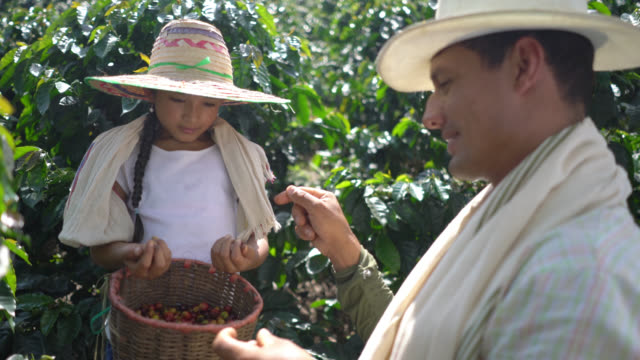 vídeos de stock e filmes b-roll de father teaching his daughter how to collect coffee beans - levantar