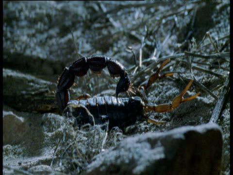 Fat-tailed scorpion walks in desert