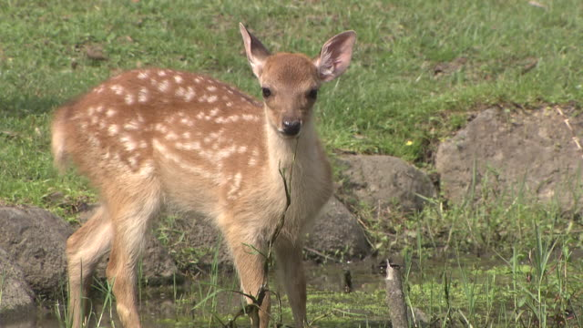 fawn eating grass - fawn stock videos & royalty-free footage