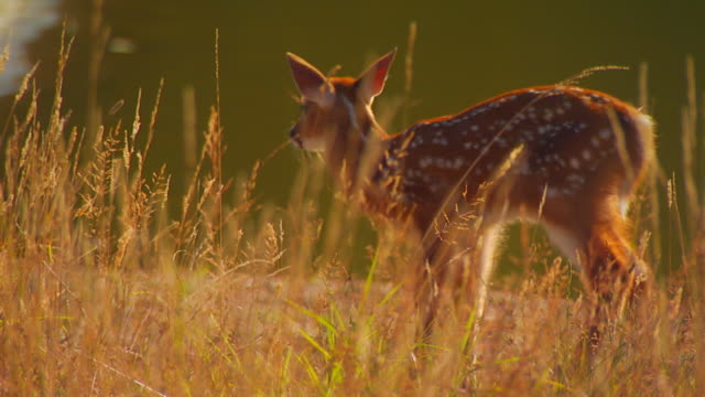 stockvideo's en b-roll-footage met fawn eating near water, slow motion - reekalf