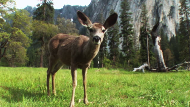 a fawn grazes in a green valley. - yosemite national park stock-videos und b-roll-filmmaterial