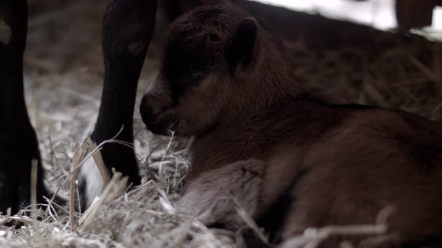 fawn in the stable - fawn stock videos and b-roll footage