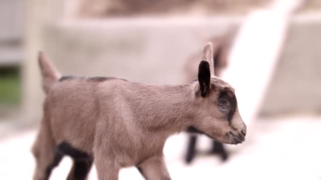 fawn in the stable - goat stock videos & royalty-free footage