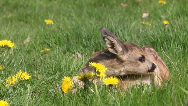vídeos y material grabado en eventos de stock de ms fawn laying in meadow with yellow flowers / vieux pont, normandy,  france - cervato
