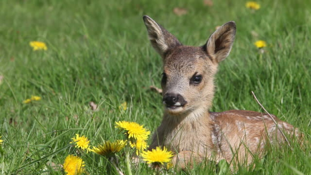 ms fawn laying in meadow with yellow flowers / vieux pont, normandy,  france - fawn stock videos & royalty-free footage