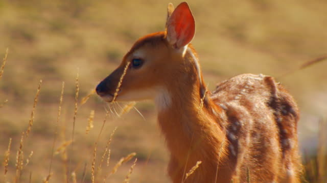 fawn looking around, slow motion - fawn stock videos & royalty-free footage