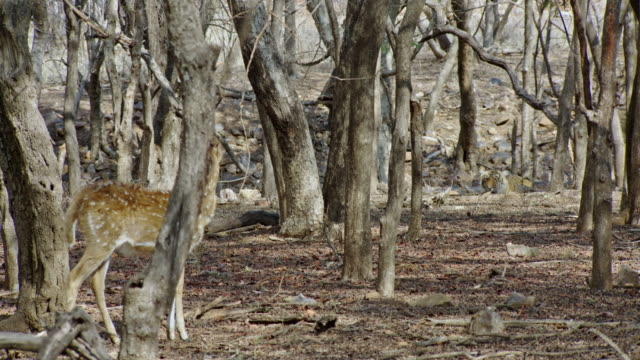 fawn looks at tiger at wooded area - fawn stock videos & royalty-free footage