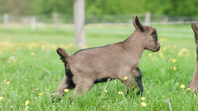 vídeos de stock e filmes b-roll de fawn on meadow in spring - animal hair