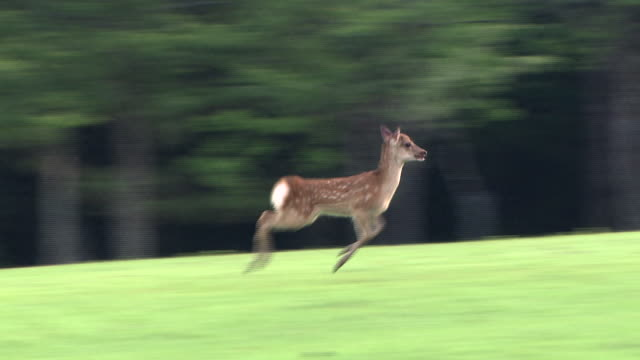 stockvideo's en b-roll-footage met a fawn running around - reekalf