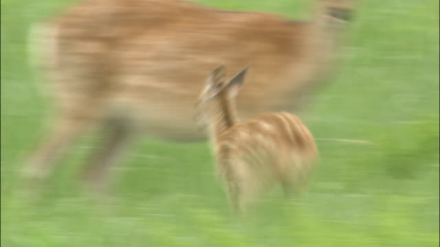 vídeos y material grabado en eventos de stock de fawn runs through long grass to mother and tries to suckle, shiretoko, hokkaido - cervato