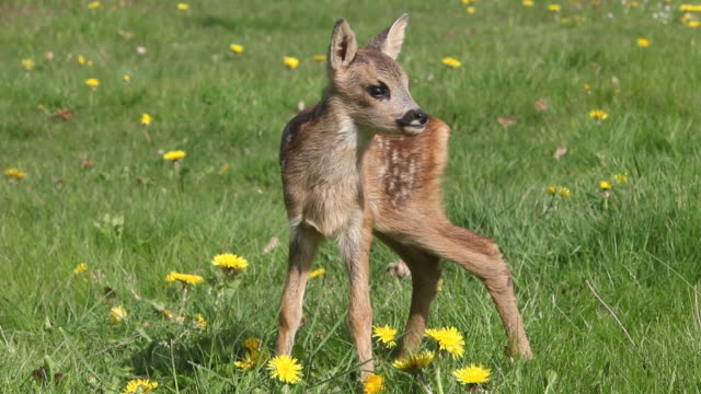 ms fawn standing in meadow with yellow flowers / vieux pont, normandy,  france - fawn stock videos & royalty-free footage