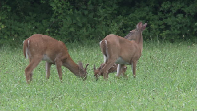 a fawn trots over to two does that graze in a grassy meadow. - fawn stock videos & royalty-free footage