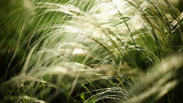 Feather Grass background