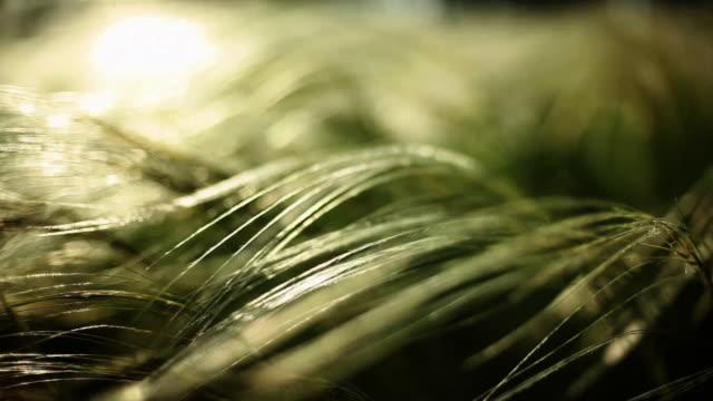 vídeos y material grabado en eventos de stock de pluma de césped, viento fresco - foco difuso
