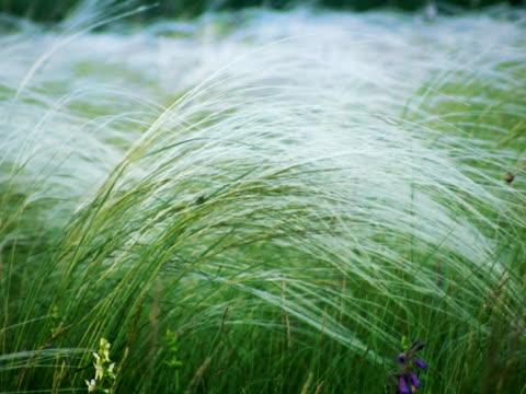 vidéos et rushes de herbe en plumes - caractéristiques de la terre