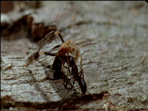 feather legged assassin bug stabs its rostrum into ant prey - tierische nase stock-videos und b-roll-filmmaterial