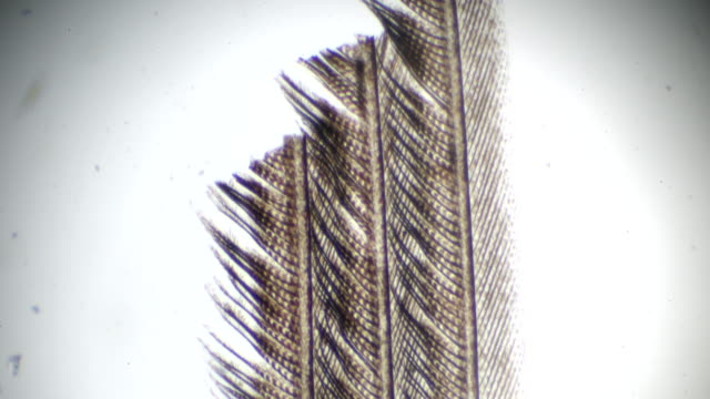 feather of bird under light microscopy - feather stock videos and b-roll footage