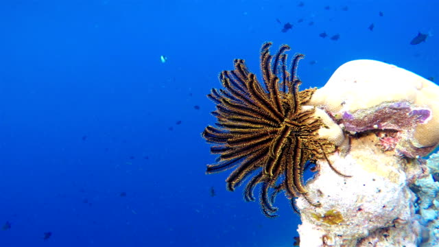 feather star (haarstern)-sea lily - exotik stock-videos und b-roll-filmmaterial
