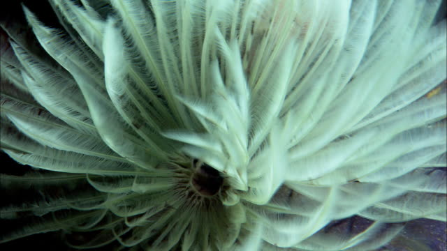 stockvideo's en b-roll-footage met feather worm filter feeds on coral reef, west papua, indonesia - kokerworm