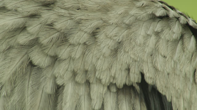 Feathered legs of greater rhea (Rhea americana).