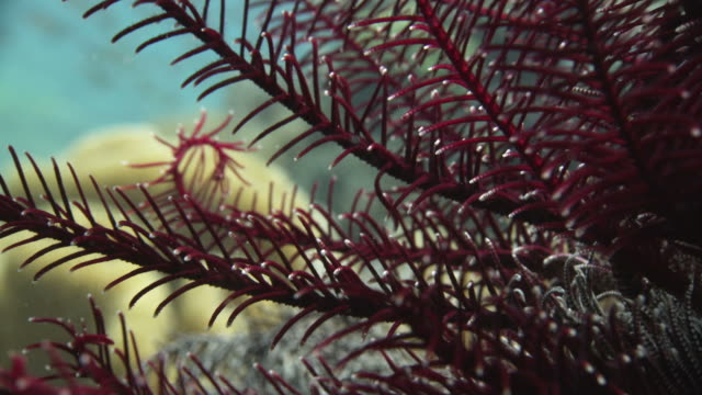 featherstar. this marine invertebrate is an ancient and primitive echinoderm, a member of the group of invertebrates that includes the starfish - invertebrate stock videos & royalty-free footage