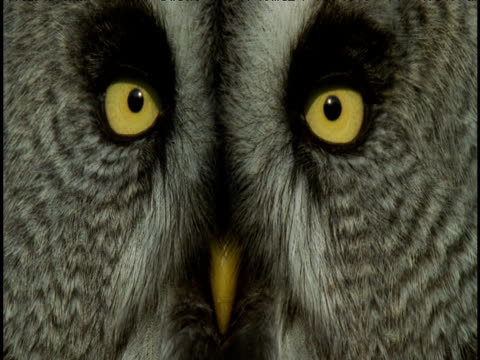 Feathery face and striking yellow eyes and beak of great grey owl