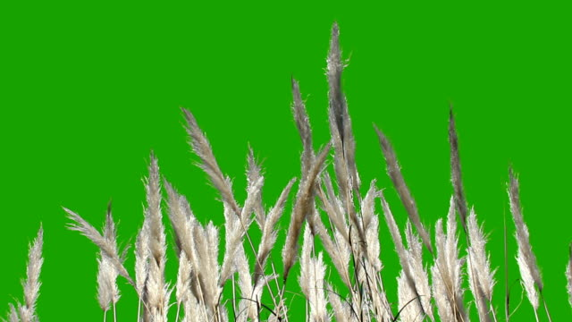 feathery plant - green screen - grass stock videos & royalty-free footage