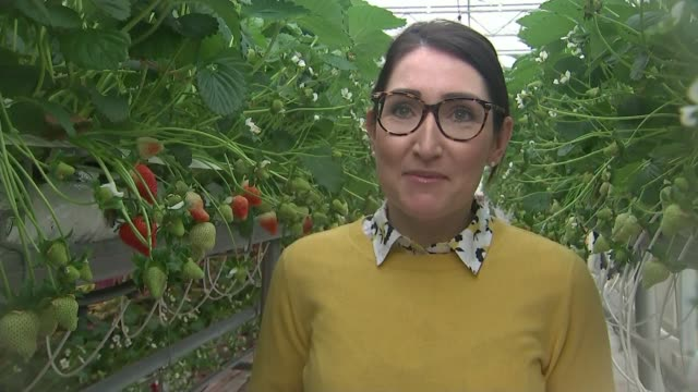 february 2019 hottest on record met office says england lancashire hesketh bankflavourfresh salads int strawberries growing in commercial greenhouse... - sun stock videos & royalty-free footage