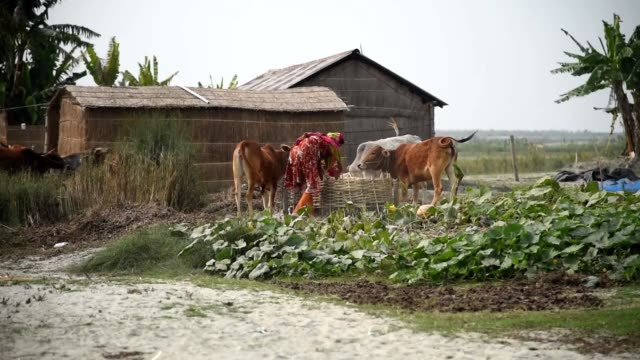 february 2020. a woman feeds rice straws to her cattle in a remote sar village in assam. the sars are distributed along the brahmaputra's course from... - village stock videos & royalty-free footage