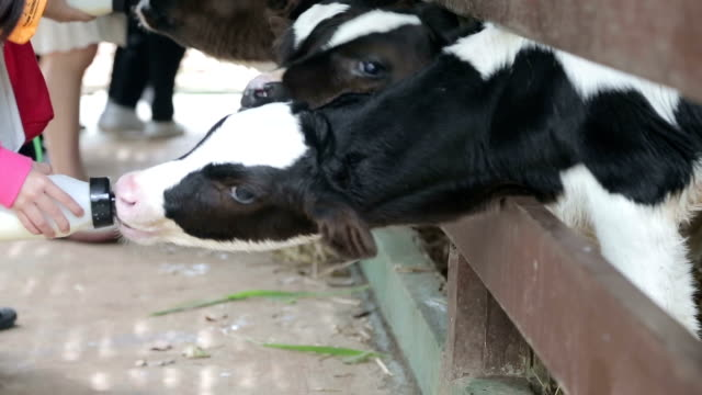 Feed milk to baby cow