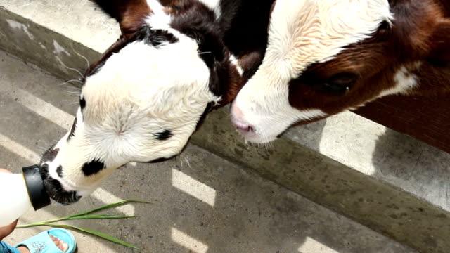 feeding a calf with bottle milk - milk bottle stock videos & royalty-free footage