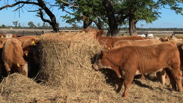feeding a herd of beef cattle calves eating hay - grass fed stock videos & royalty-free footage