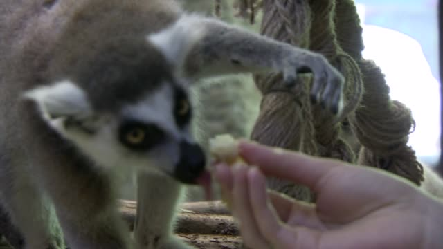 feeding a lemur with a banana - zoo stock videos & royalty-free footage
