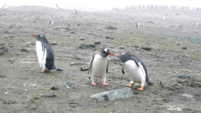feeding a penguin - gentoo penguin stock videos and b-roll footage