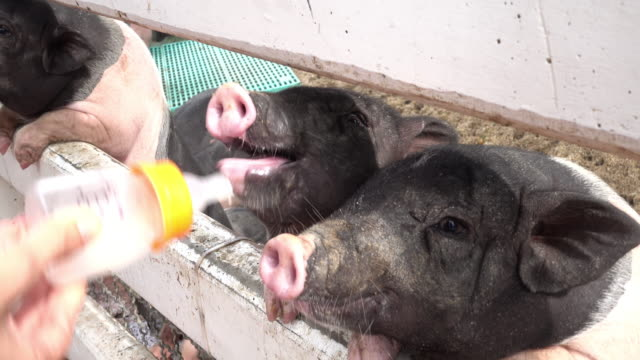 feeding a piglet - piglet stock videos and b-roll footage