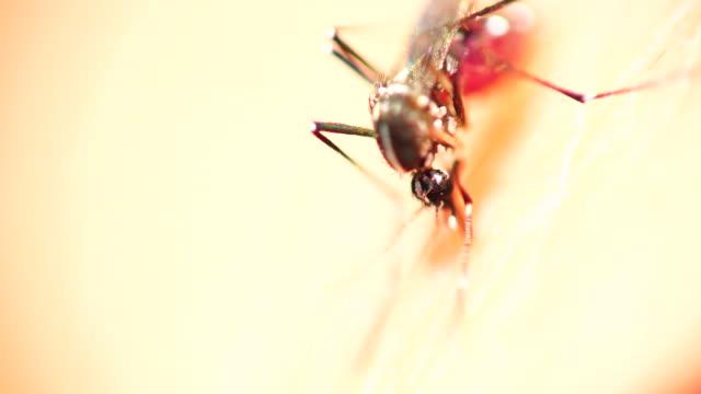 alimentazione zanzara della febbre gialla in spagna 4 k - vettore della malattia video stock e b–roll
