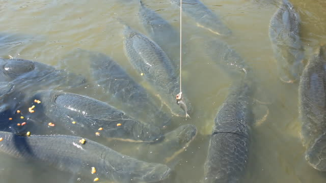feeding arapaima big fish - captive animals stock videos & royalty-free footage