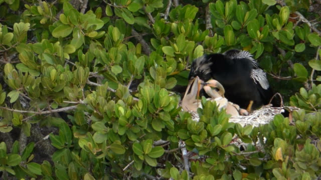 feeding baby chicks - water bird stock videos & royalty-free footage