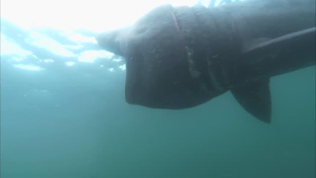 vídeos y material grabado en eventos de stock de ms feeding basking shark, cetorhinus maximus, swims, camera below shark.  - peregrino