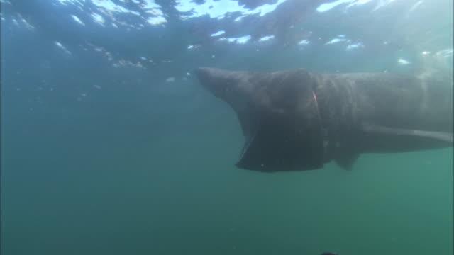 vídeos y material grabado en eventos de stock de cu feeding basking shark, cetorhinus maximus, swims past camera underwater - peregrino