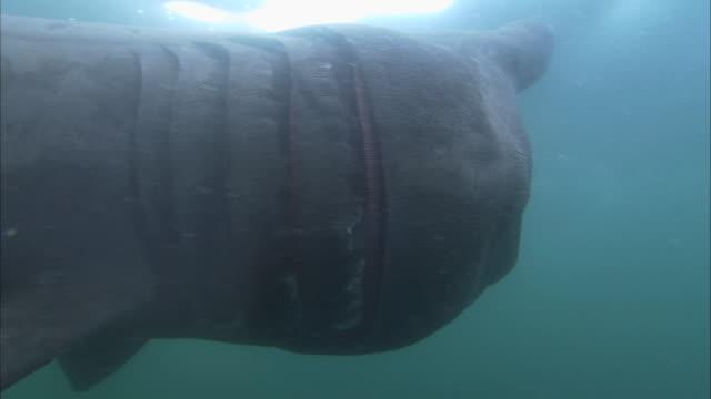 vídeos y material grabado en eventos de stock de ms - cu feeding basking shark, cetorhinus maximus, swims past camera - peregrino