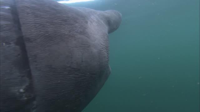 vídeos y material grabado en eventos de stock de cu feeding basking shark, cetorhinus maximus, swims towards camera underwater - peregrino