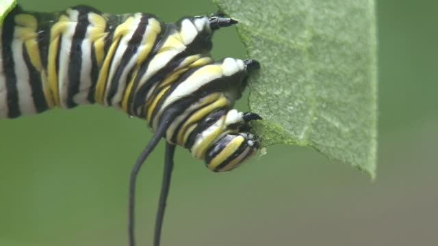 cu of feeding behavior of a monarch caterpillar - feeding stock videos & royalty-free footage