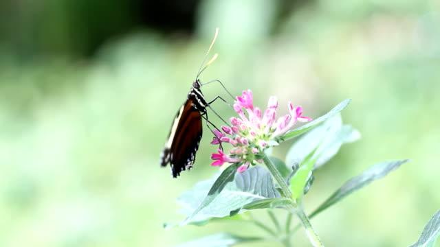 Feeding Butterfly HD 1080