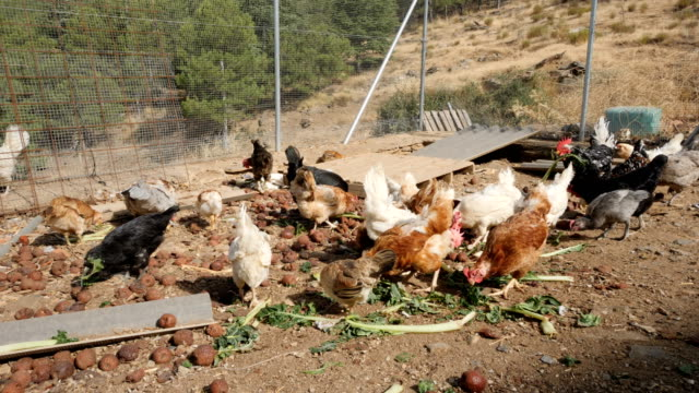 Feeding chickens and hens in a farm