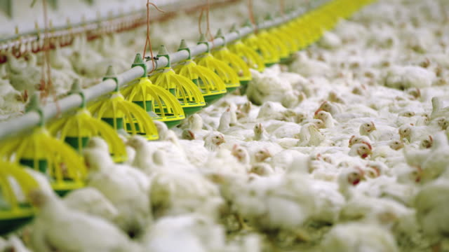 stockvideo's en b-roll-footage met ws voederen van kippen op de pluimveeboerderij - pikken