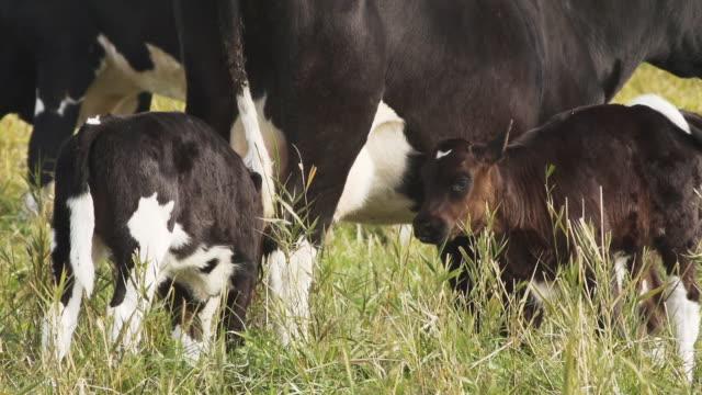 フィーディング牛 - cattle点の映像素材/bロール